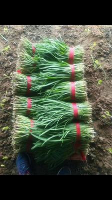 这是一张关于大叶韭菜 头茬 35~40cm 的产品图片