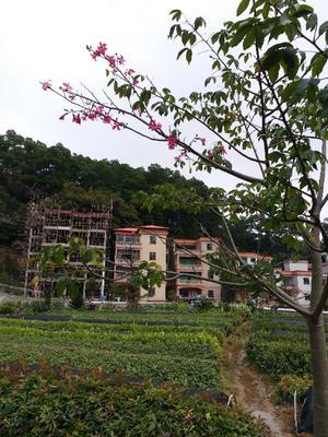 广东省广州市白云区红苞木