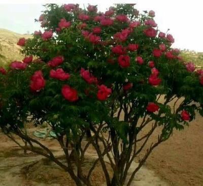 广东省广州市花都区观赏牡丹 0.5米以下 2cm以下 4cm以下