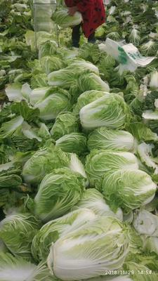 这是一张关于黄心大白菜 6~10斤 毛菜 的产品图片