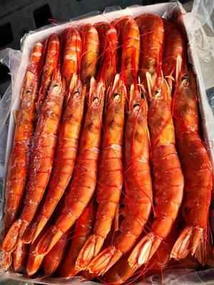 山东省烟台市海阳市阿根廷红虾