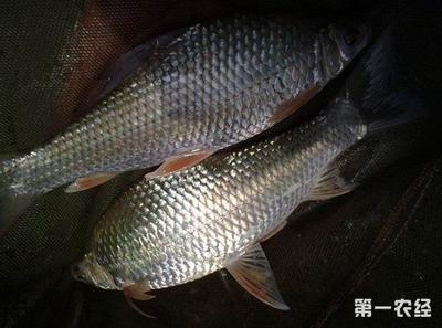 广西壮族自治区南宁市西乡塘区鲮鱼 人工养殖 0.25-1公斤