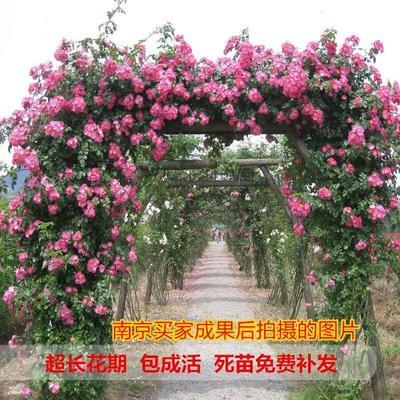 江苏省宿迁市沭阳县红花蔷薇