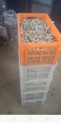 河南省商丘市虞城县黄羽鹌鹑蛋 食用 礼盒装