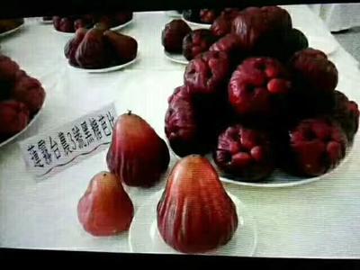 这是一张关于黑糖芭比莲雾苗 的产品图片