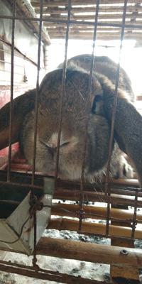 这是一张关于公羊兔 1斤以下 的产品图片