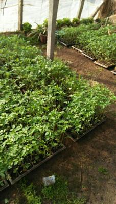 河南省安阳市滑县千禧西红柿 精品 弧一以下 硬粉