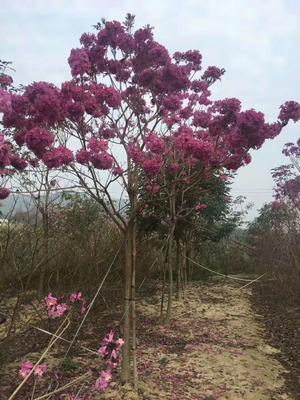 这是一张关于紫花风铃木 的产品图片