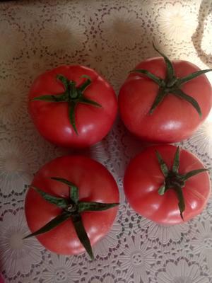 山东省潍坊市寒亭区硬粉番茄  精品 弧三以上 硬粉