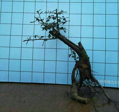 云南省昆明市呈贡区金弹子 2公分以下