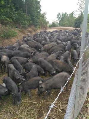 这是一张关于藏香猪肉 生肉 的产品图片