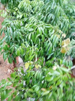 这是一张关于桂味荔枝苗 的产品图片