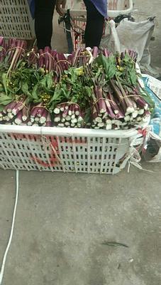 湖北省宜昌市枝江市红菜苔 25~30cm