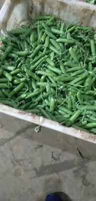 云南省普洱市景东彝族自治县长寿仁豌豆 7-10cm