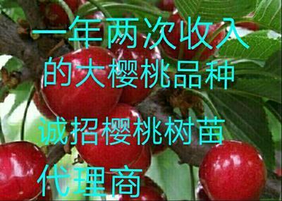 玛瑙红樱桃树苗 大樱桃树苗