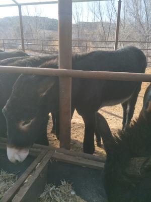 辽宁省朝阳市双塔区育肥驴 500斤以上
