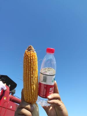 这是一张关于大玉3农科玉金苑联创 双交种 ≥95% 的产品图片