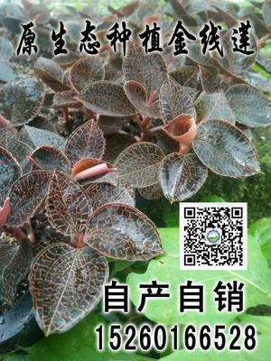 这是一张关于金线莲种苗 的产品图片