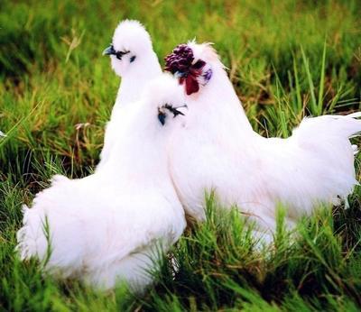 这是一张关于白羽乌鸡 3-4斤 的产品图片