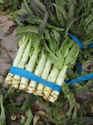 这是一张关于红叶香莴苣 1.0~1.5斤 40-50cm 的产品图片