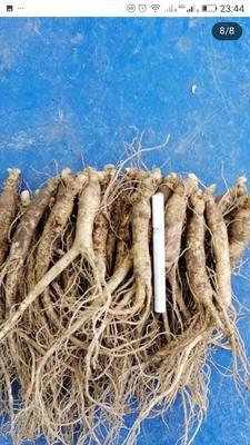 这是一张关于林下参人参 鲜参 袋装 整根 的产品图片