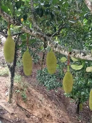 海南省海南省琼中黎族苗族自治县海南菠萝蜜 15斤以上