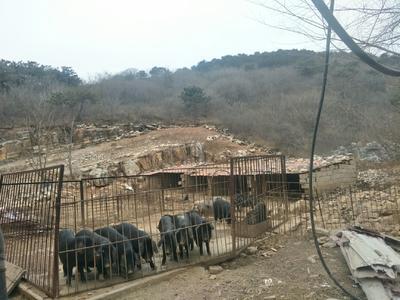 河北省唐山市遵化市生态野猪 统货 160-200斤