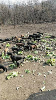 吉林省延边朝鲜族自治州图们市黑山猪 统货 200-300斤