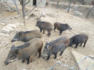 北京朝阳区生态野猪 统货 20-30斤