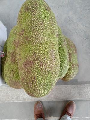 广西壮族自治区南宁市青秀区海南菠萝蜜 15斤以上
