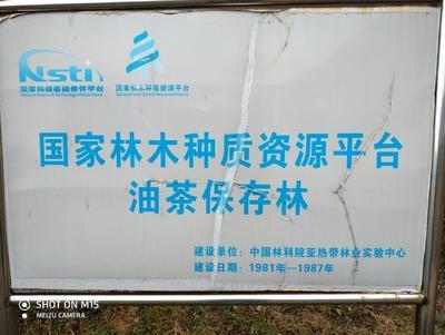 江西省新余市分宜县油茶苗
