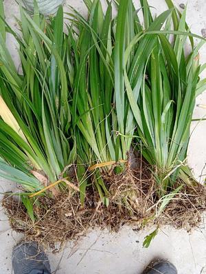 重庆万州区萹蓄  扁竹根   大量供货