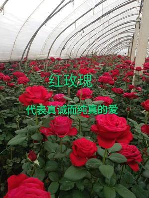 卡罗拉月季苗 玫瑰苗