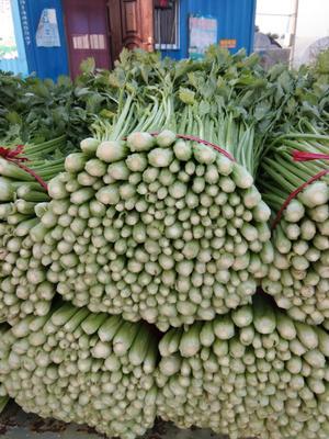 江苏省徐州市沛县皇妃芹菜 50~55cm 0.5斤以下 大棚种植