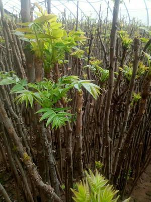山西省太原市万柏林区红油香椿芽 10cm