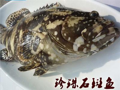 广东省湛江市雷州市珍珠龙胆石斑鱼 人工殖养 3-4公斤