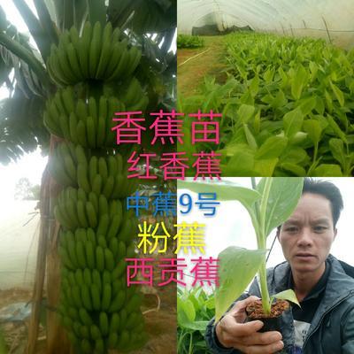 广西壮族自治区钦州市灵山县红蕉苗
