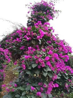福建省漳州市龙海市紫花三角梅 3~4米