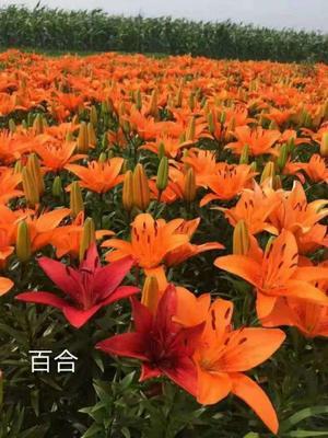 辽宁省鞍山市台安县百合花  球单头,花双头
