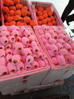 四川省攀枝花市西区早钟六号枇杷 0.7 - 1两