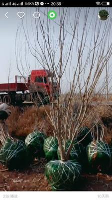 河北省沧州市献县丛生白蜡 3~3.5米