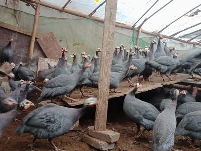贵州省安顺市镇宁布依族苗族自治县银斑珍珠鸡 2-4斤