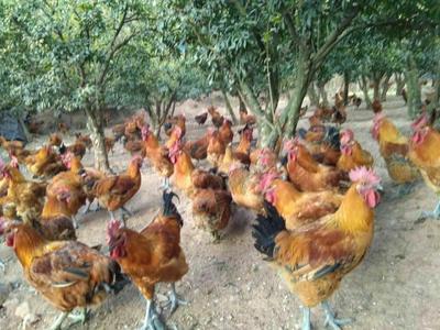 四川省凉山彝族自治州会理县鸡肉类 新鲜