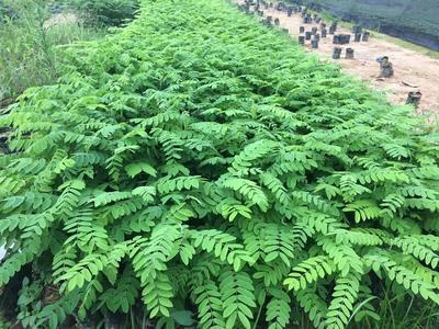 广东省广州市白云区花旗木 0.5米以下 4公分以下