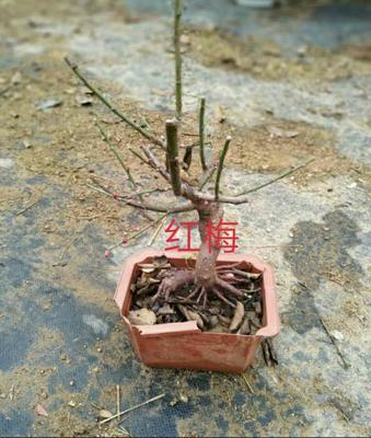 广东省广州市花都区红梅