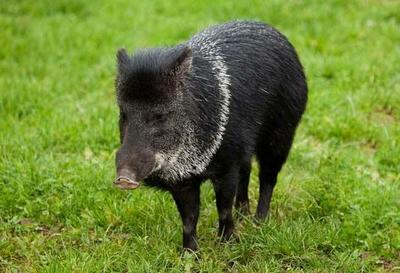 安徽省六安市金安区生态野猪 统货 160-200斤