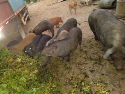 广西壮族自治区百色市靖西县生态野猪 统货 120斤以上