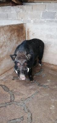广西壮族自治区贺州市八步区特种野猪 统货 30-40斤