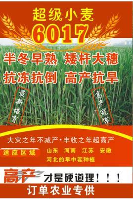 山东省济宁市嘉祥县小麦种子 亲本 ≥99% ≥99% ≥95% ≤13%