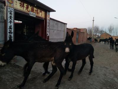 天津宝坻区肉驴 400-500斤